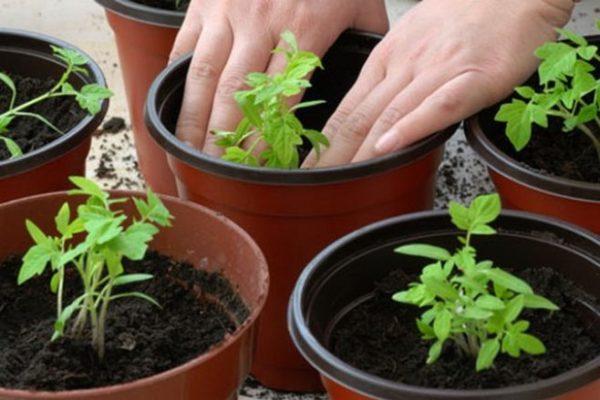 как вырастить рассаду помидоров дома