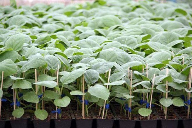 Закаливание рассады помидоров, перца и баклажанов в домашних условиях является подготовкой растений к пересадке в грунт