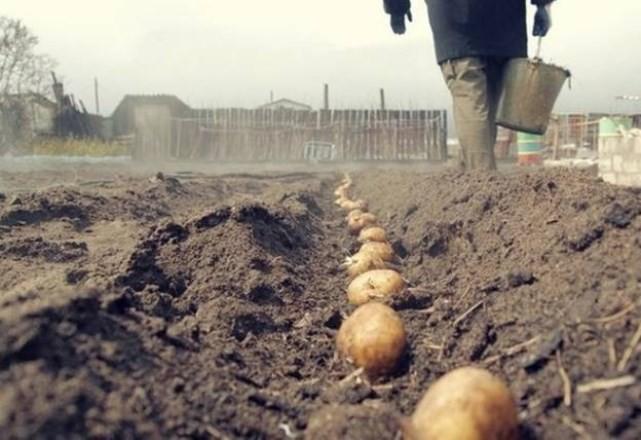 Посадка картофеля в мае желательна по лунному календарю на 2019 год