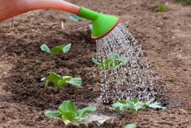 Когда сажать капусту в открытый грунт в 2019 году по лунному календарю