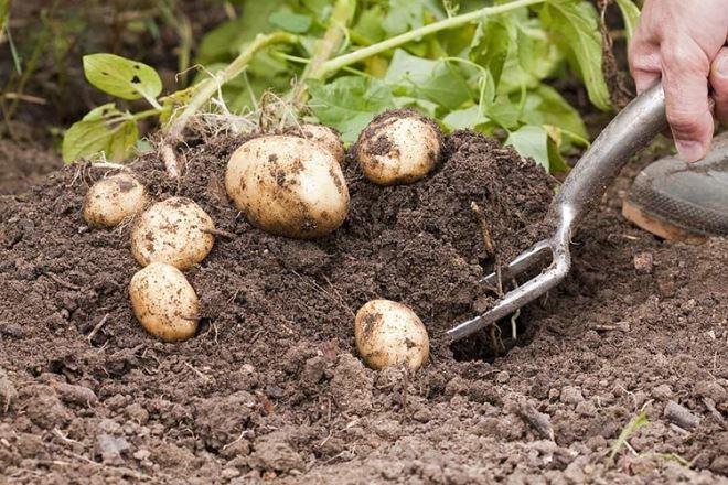 Когда убирать картофель в августе 2019 года в Подмосковье