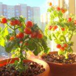 Огород на подоконнике: секреты выращивания помидоров черри в горшочках