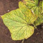 Почему желтеют листья у огурцов в открытом грунте: основные причины