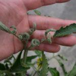 Если происходит скручивание листьев у помидор, что нужно делать?