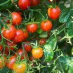 Чем в июне подкормить помидоры без использования химии