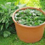 Как приготовить настой из крапивы для удобрения рассады