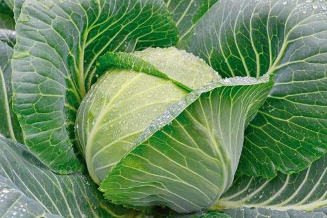Что делать, если тля поедает капусту: лучшие способы обработки растения