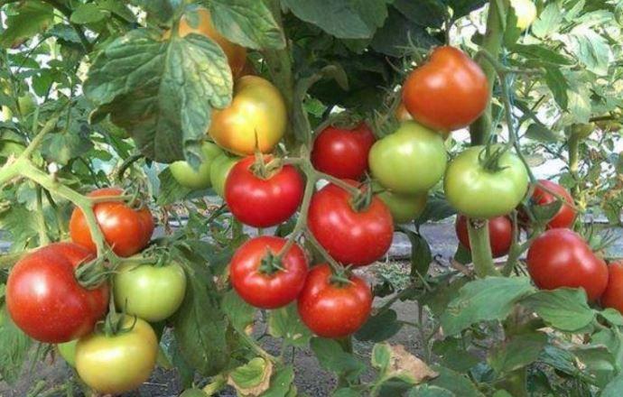 Как ускорить созревание томатов в открытом грунте до наступления осени