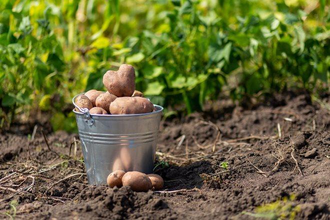 Уборка картофеля по лунному календарю 2020 года в августе сохраняет его вкусовые качества