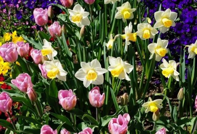 Как правильно сажать крокусы, нарциссы и тюльпаны осенью в открытый грунт