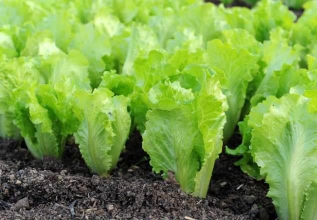 Овощи и зелень, которые можно посадить в огороде в начале сентября