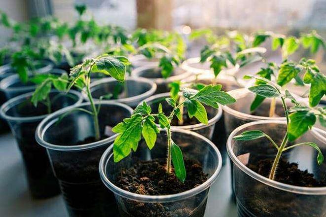 Почему нельзя торопиться с выращиванием рассады томата