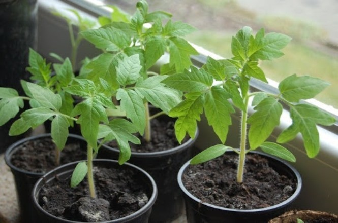 Удачные сроки посадки томатов на рассаду по лунному календарю 2021 года