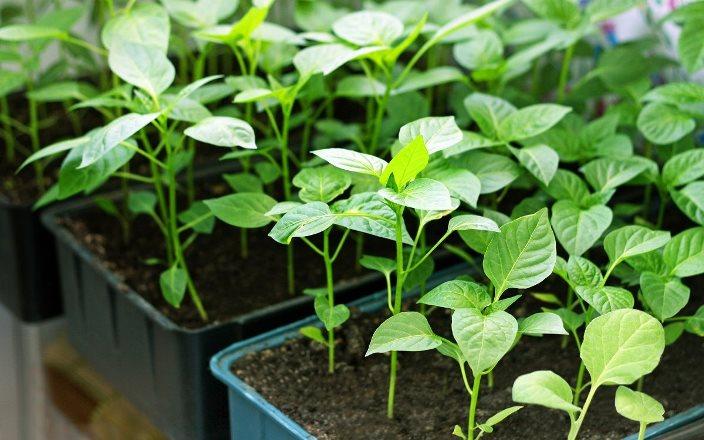 Лунный календарь посева семян перца на рассаду в феврале 2021 года