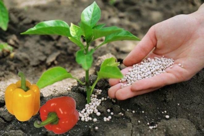 Чем подкармливать рассаду перца и помидоров, чтобы она активно росла и была толще