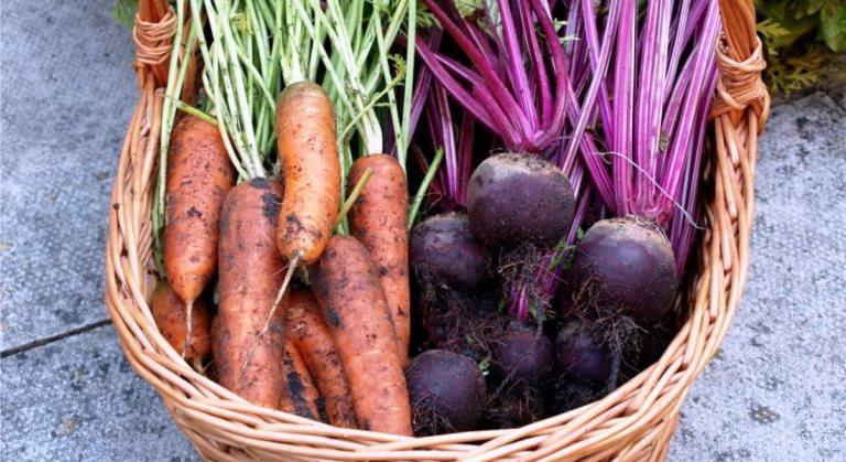 Сроки посадки и правила севооборота для моркови и свеклы в 2021 году