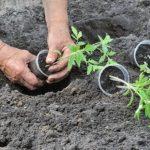 Сроки пересадки помидоров в открытый грунт в мае 2021 года