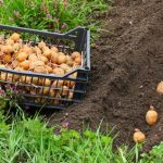 Благоприятные посадочные дни для картофеля в мае 2021 года, описанные в лунном календаре